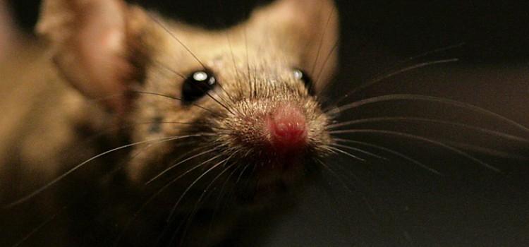 Egerek a bombák felderítésére a reptereken?